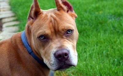 Patentino per cani a Milano, come conseguirlo e la lista delle razze pericolose